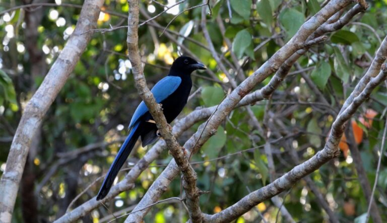 'Chel', the Yucatecan bird that wears an amazing 'blue cape'